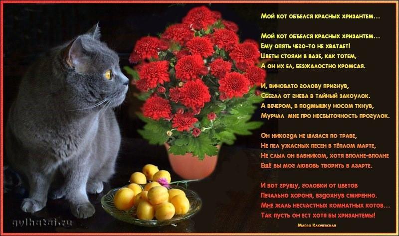 Мой кот объелся красных хризантем