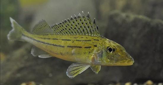рыба Ерш фото