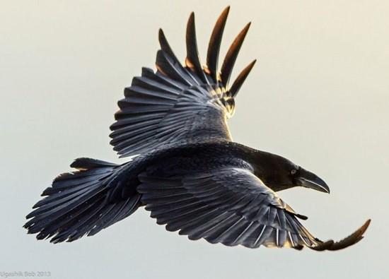 черный ворон парит