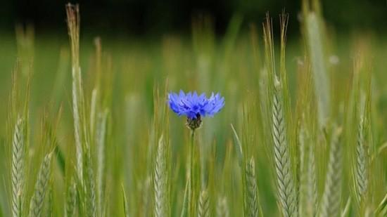 Цветок полей